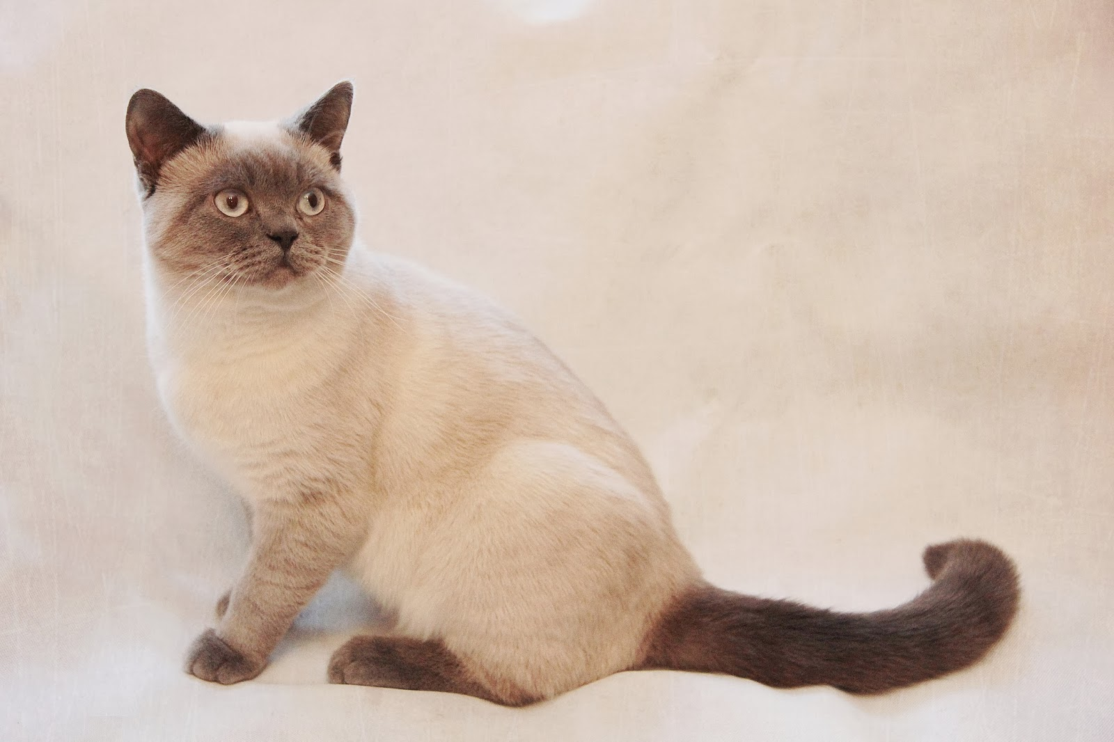 Pedigreed Colourpointed British Shorthair