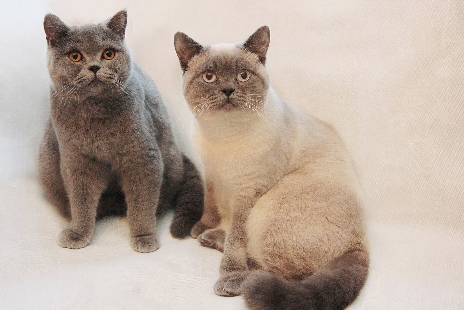 British Shorthair Stud