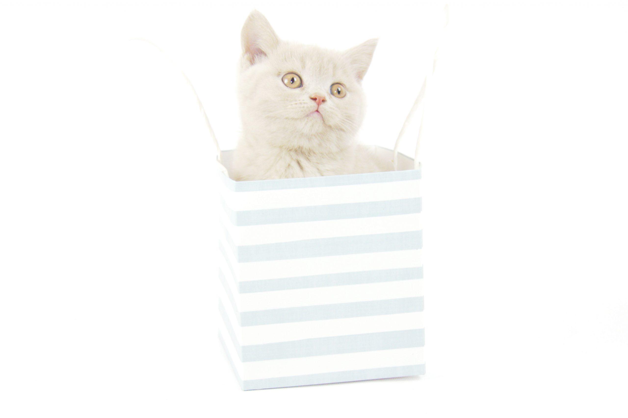 Buy British Shorthair Kitten