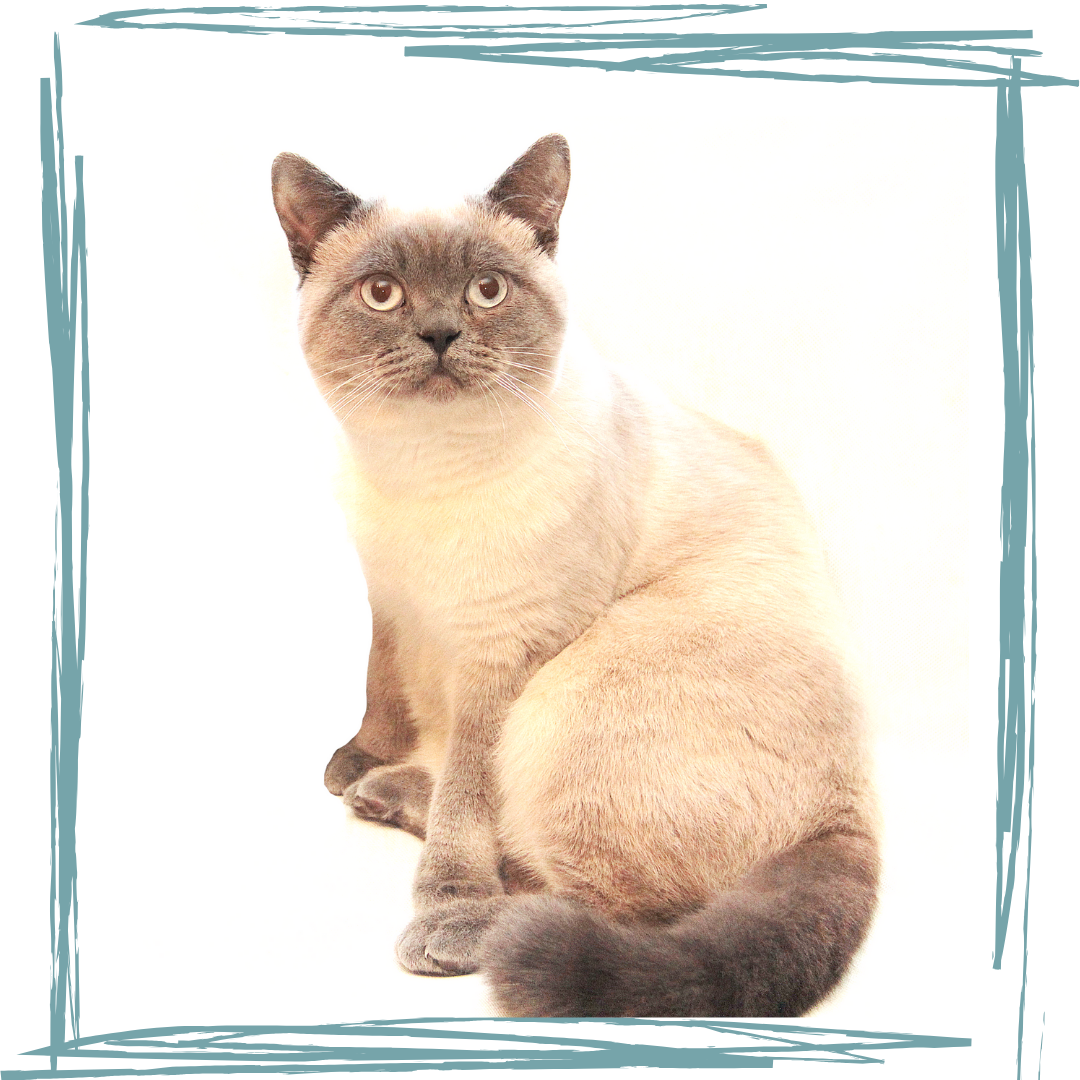 Muffin & Poppy - British Shorthair