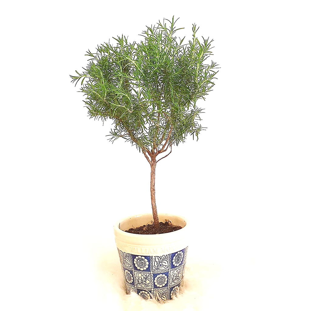 Rosemary Topiary In Designer Plant Pot Muffin Poppy